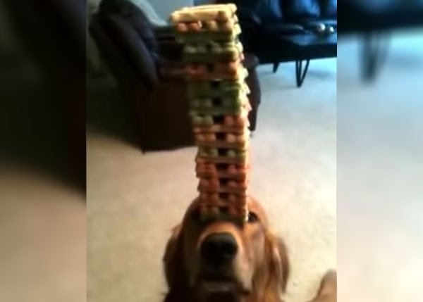 Amazing Jenga Dog Stacks 50 Treats On His Nose