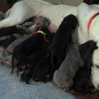 Great Dane in York Haven, Pennsylvania has Nineteen Puppies