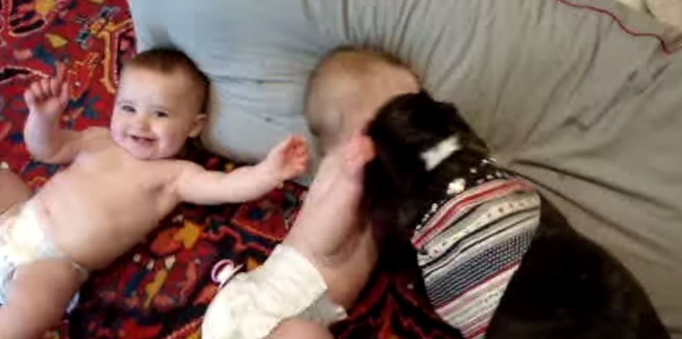 Kissy French Bulldog Makes Babies Squeal with Laughter