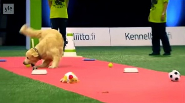 11.20.14 - Golden Retriever Hilariously Fails at Dog Competition1