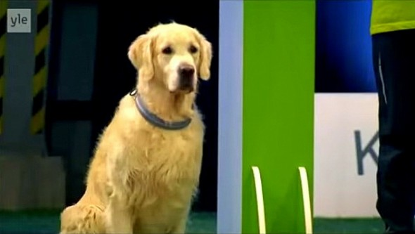 11.20.14 - Golden Retriever Hilariously Fails at Dog Competition2