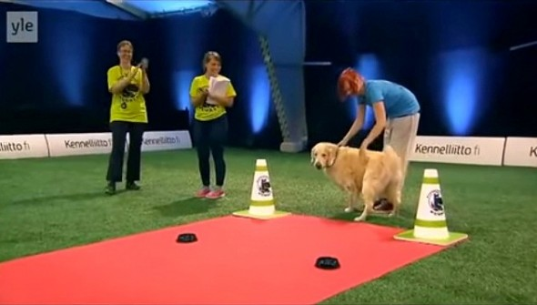 11.20.14 - Golden Retriever Hilariously Fails at Dog Competition3