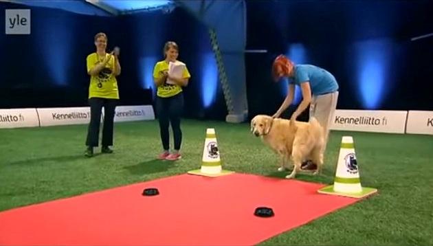 Golden Retriever Hilariously Fails At Dog Competition - Golden retriever obedience competition fail