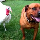 Dogs vs. Turkeys