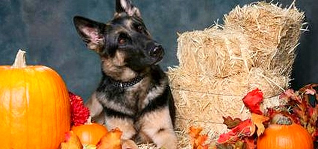 16 Best Doggie Thanksgiving Photos Life With Dogs