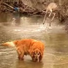 Dog and Deer Take River Romp Together