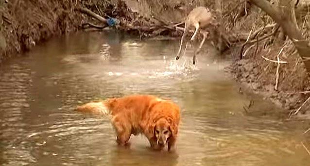 Dog and Deer Take River Romp Together