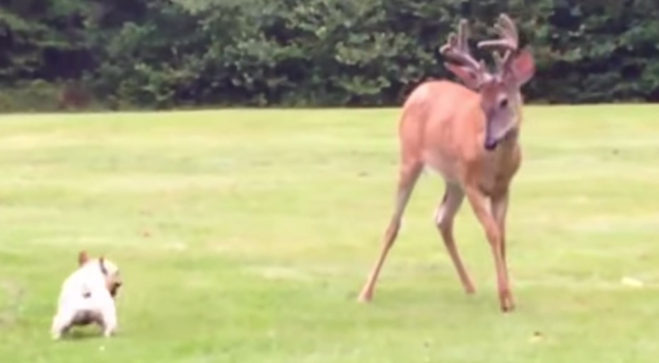 French Bulldog and Deer Play Tag Together