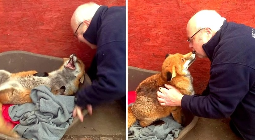Dawn, the Fox Who Loves Belly Rubs