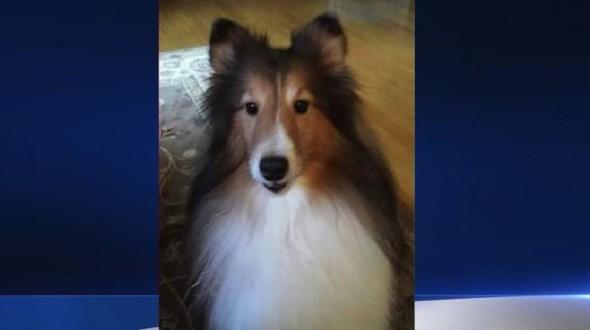 11.9.14 - Epileptic Shetland Sheepdog Returned To Her Owner1