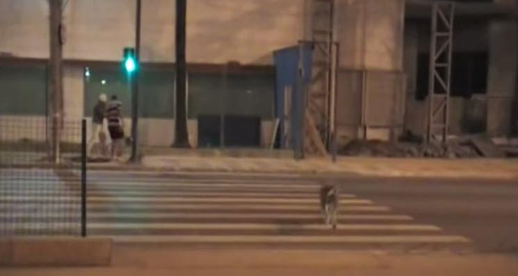 Dog Crosses Road When Light Turns Green