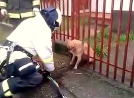 Rescued! Chubby Dog Trapped in Iron Fence