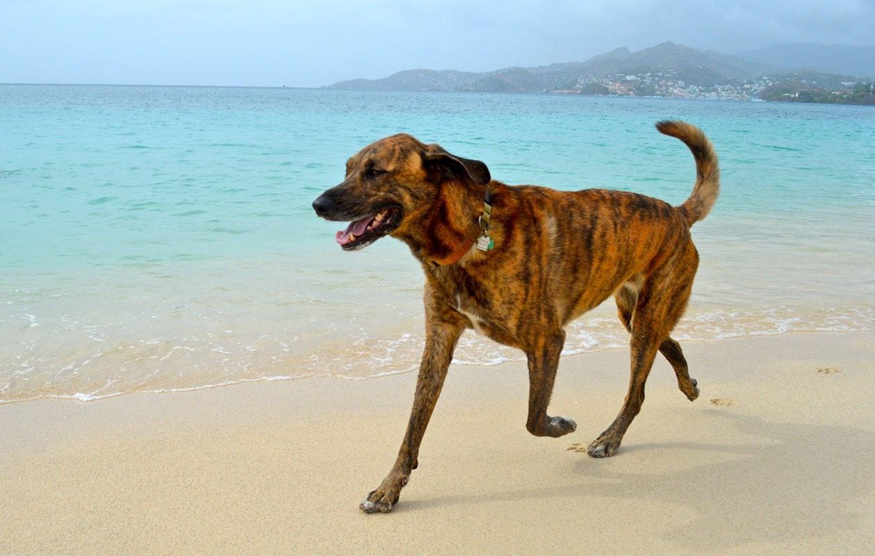 Sheridan the Beloved Dog Battling Bone Cancer