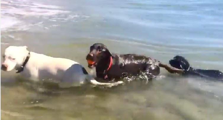 These Dogs Know How to Body Surf