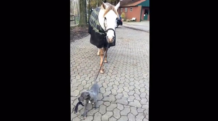 Puppy Walks Horse