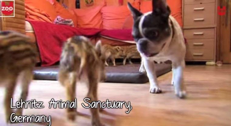 Bulldog Loves Baby Boars