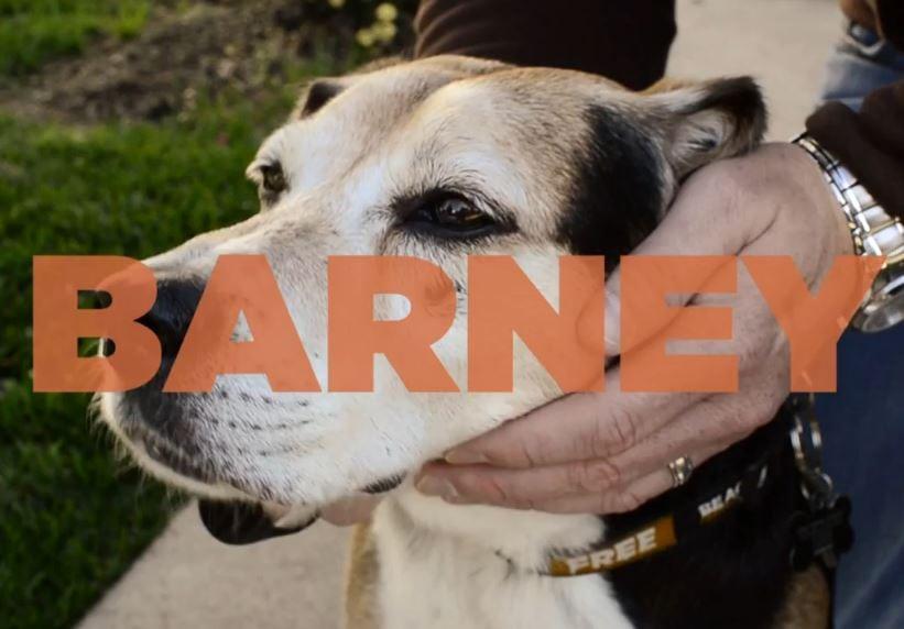 Barney, the bad luck beagle