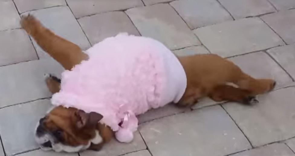 Rolley-Polley Bulldog Pup Can't Get Up