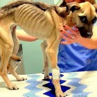Skeletal Dog Rescued just Inches from Death