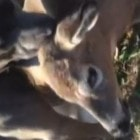 12.15.14 - Pit Bull Comforts Deer Tangled in Fence Until Help ArrivesFEAT