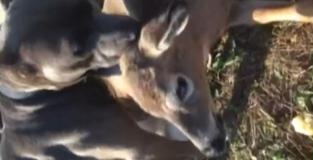 Pit Bull Comforts Deer Tangled in Fence Until Help Arrives