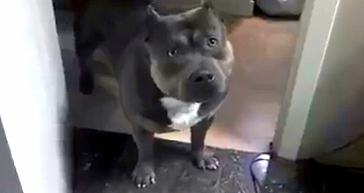 Funny Pit Bull Will Answer Your Questions