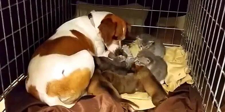 Mama Dog Adopts Kittens into Her Litter