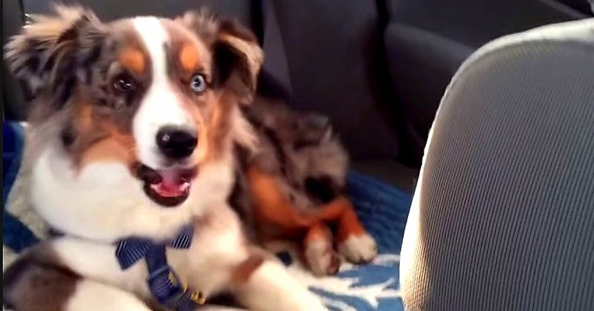 Dog Wakes Up from a Nap to Sing His Favorite Song