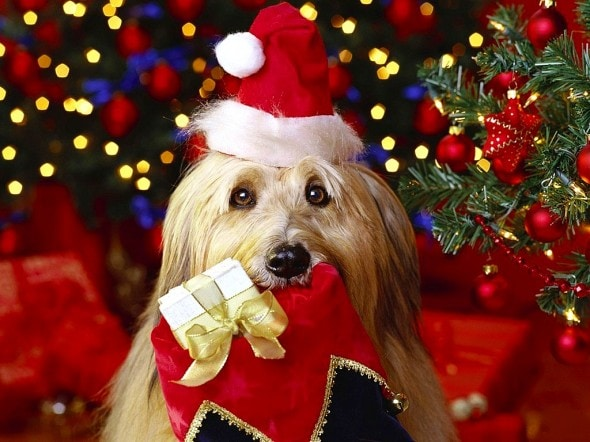 12.24.14 - Cutest Christmas Dogs10