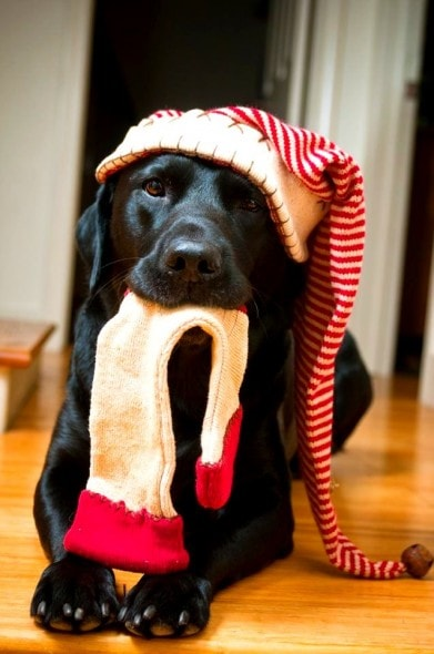 12.24.14 - Cutest Christmas Dogs14