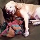 Denver the Guilty Dog Strikes at Christmas!