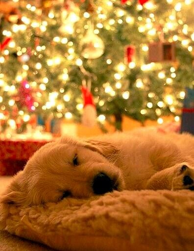 12.25.14 - Beautiful Photos of Dogs at Christmas12