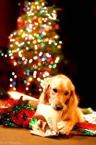 12.25.14 - Beautiful Photos of Dogs at Christmas14