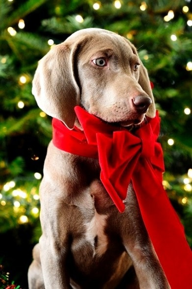 12.25.14 - Beautiful Photos of Dogs at Christmas17