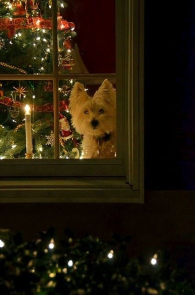 12.25.14 - Beautiful Photos of Dogs at Christmas18