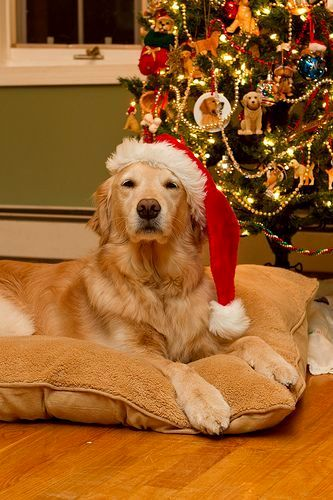 12.25.14 - Beautiful Photos of Dogs at Christmas19