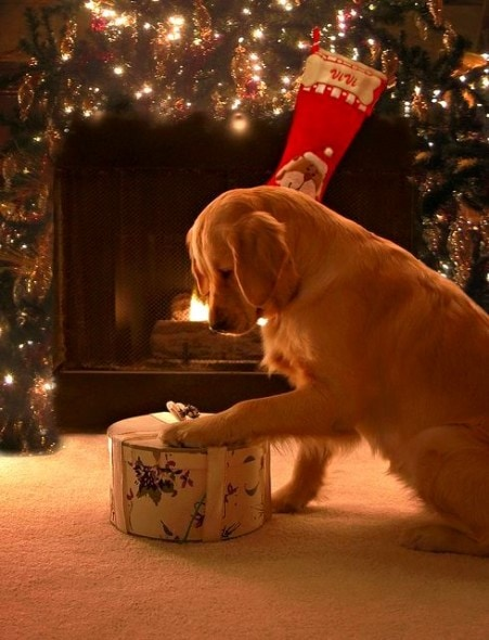 12.25.14 - Beautiful Photos of Dogs at Christmas2