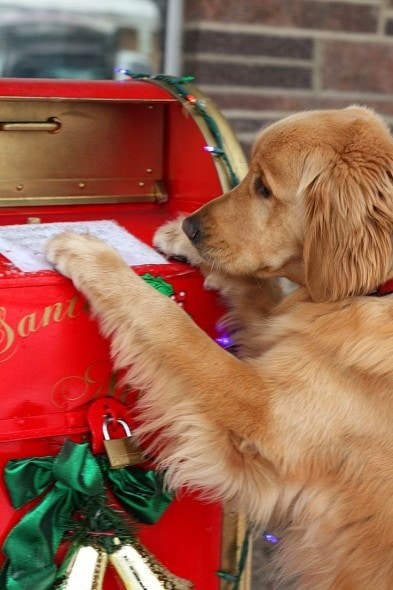 12.25.14 - Beautiful Photos of Dogs at Christmas20