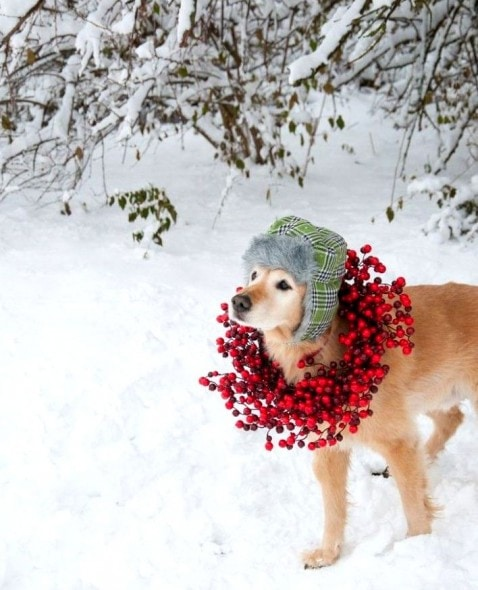 12.25.14 - Beautiful Photos of Dogs at Christmas21