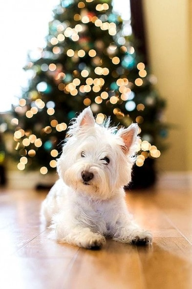 12.25.14 - Beautiful Photos of Dogs at Christmas4