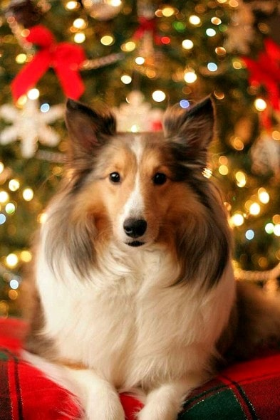 12.25.14 - Beautiful Photos of Dogs at Christmas5