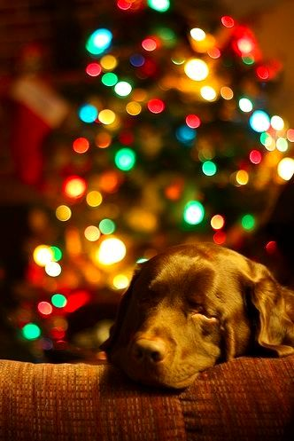 12.25.14 - Beautiful Photos of Dogs at Christmas8