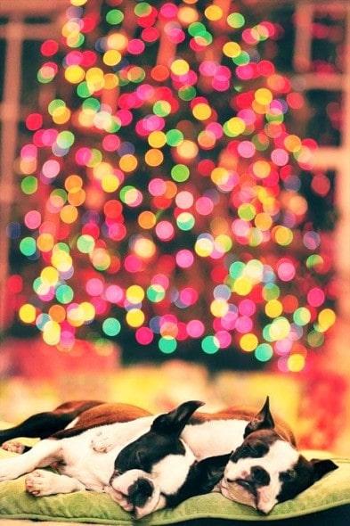 12.25.14 - Beautiful Photos of Dogs at Christmas9