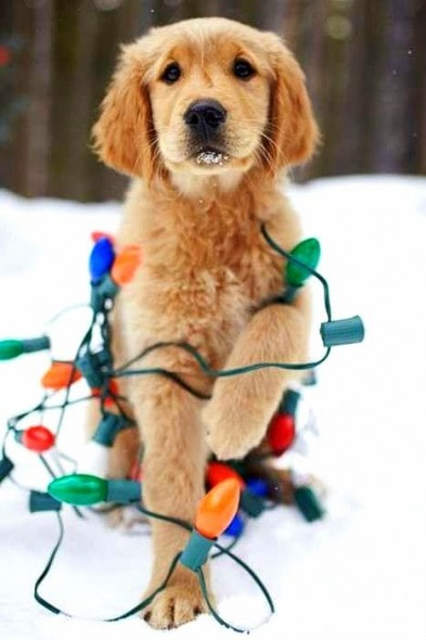12.25.14 - Dogs Who Are SO Over Christmas10
