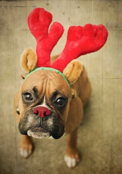 12.25.14 - Dogs Who Are SO Over Christmas15
