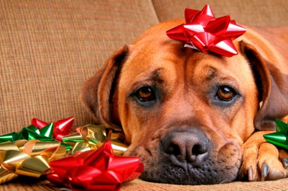 12.25.14 - Dogs Who Are SO Over Christmas16