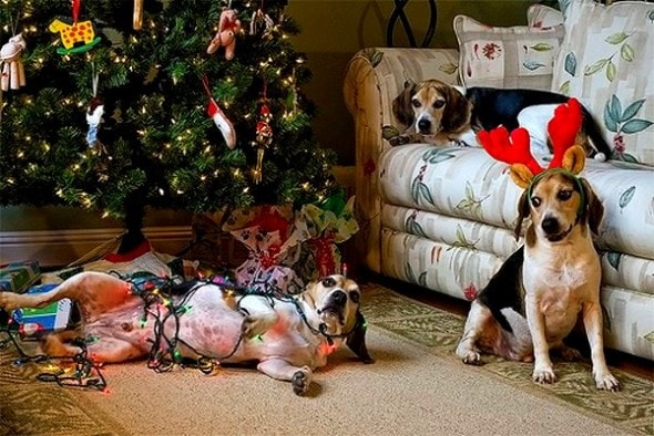 12.25.14 - Dogs Who Are SO Over Christmas19