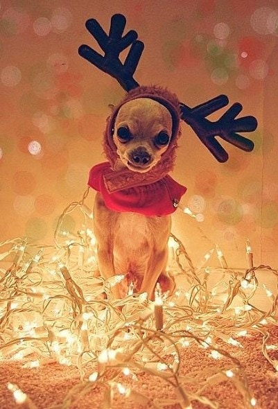 12.25.14 - Dogs Who Are SO Over Christmas21