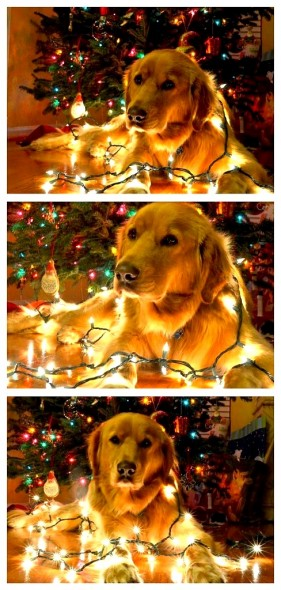 12.25.14 - Dogs Who Are SO Over Christmas22
