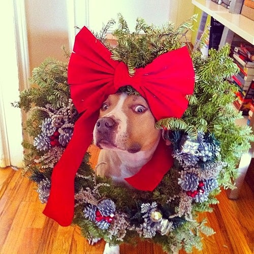 12.25.14 - Dogs Who Are SO Over Christmas25